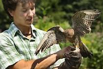 Ve zlínské zoo na Lešné předvedli v sobotu 17. července ochránci přírody ze záchranné stanice v Hošťálkové své dravce, které kvůli zraněním, nebo ztrátě přirozené plachosti už nemohou vypustit zpátky do přírody.