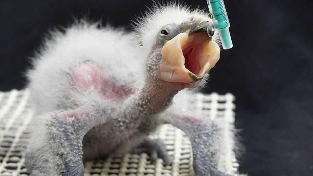 Samička papouška kea, která se vylíhla 10. března, zdárně prospívá a již brzy by se měla začlenit do rodinného hejna.