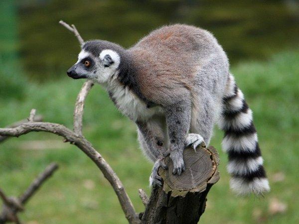 Neprostupná průhledná stěna má lemury vzoo chránit před neukázněnými obdivovateli.