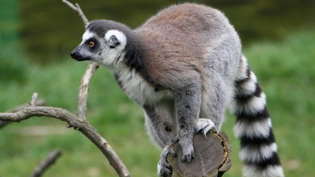 Neprostupná průhledná stěna má lemury v zoo chránit před neukázněnými obdivovateli.
