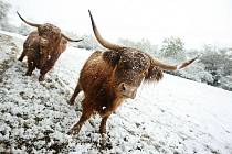 Prudká změna počasí přinesla na Zlínsko ve čtvrtek 15. října místy přívaly sněhu. Skotské skopy v obci Lípa jsou však i na to připraveni.