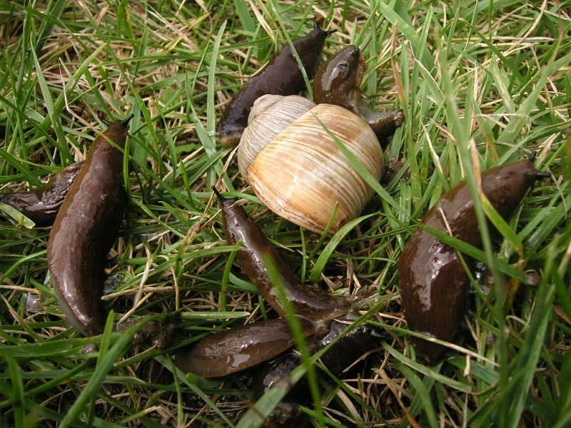 Zahrádkáře na Zlínsku trápí slimák Plzák španělský. Ve velkém jim ničí úrodu.