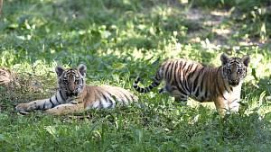 Mláďata tygra ussurijského ve výběhu zlínské zoo