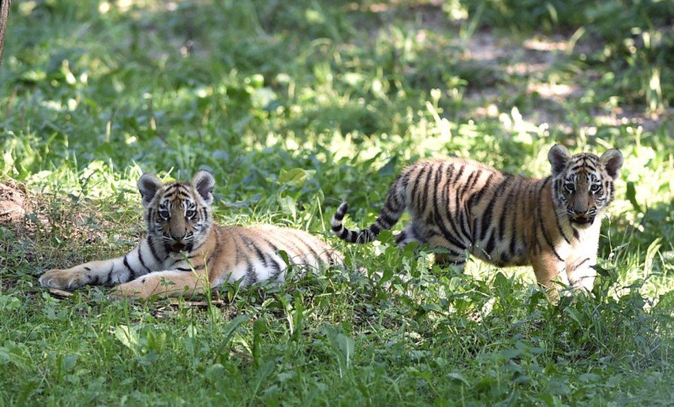Mláďata tygra ussurijského ve výběhu zlínské zoo na snímku z 29. srpna 2019