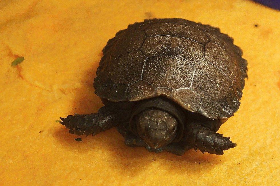 Mládě asijské želvy mohutné podruhu phayrei ze zlínské zoo je jediným, které se v roce 2020 podařilo ve světových zoologických institucích odchovat. Na snímku vylíhnutý exemplář zvířete.