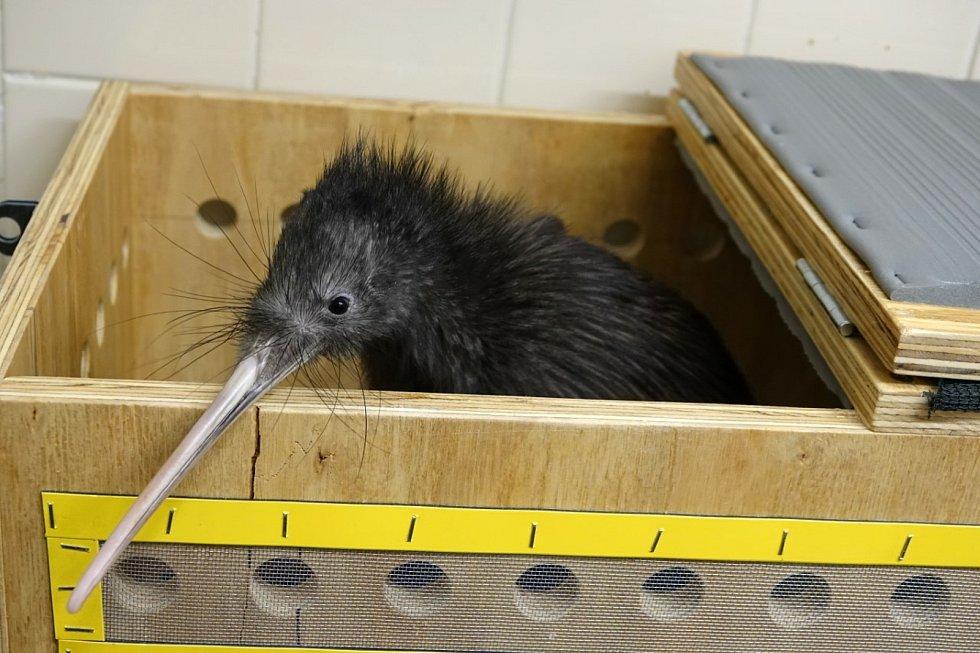 Zlínská zoo po několika letech jednání a trpělivé práce získala vytouženou samičku kivi hnědého.