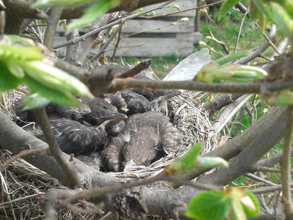 Malí kosi na hnízdě