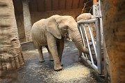 Samice slona afrického ve zlínské ZOO.