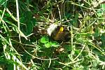 samička čmeláka