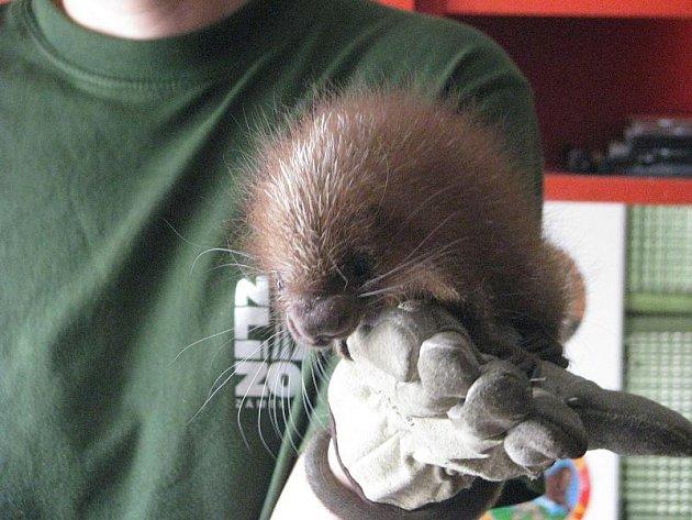 Novorozená kuanda obecná, Zoo Lešná, Zlín