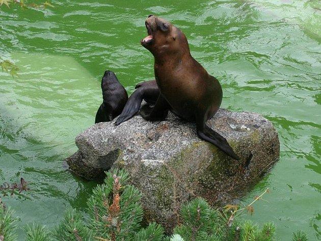 Představení mláděte lachtana hřivnatého ve zlínské zoo