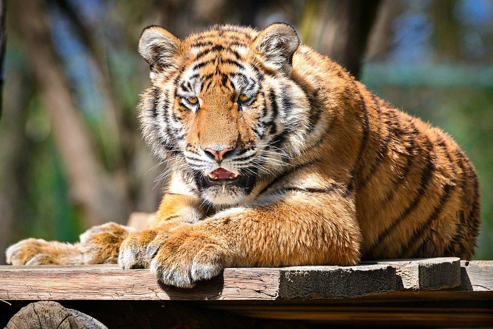 ZOO Zlín se 27. dubna 2020 po šesti týdnech znovu otevřela pro veřejnost. Na snímku tygr ussurijský.