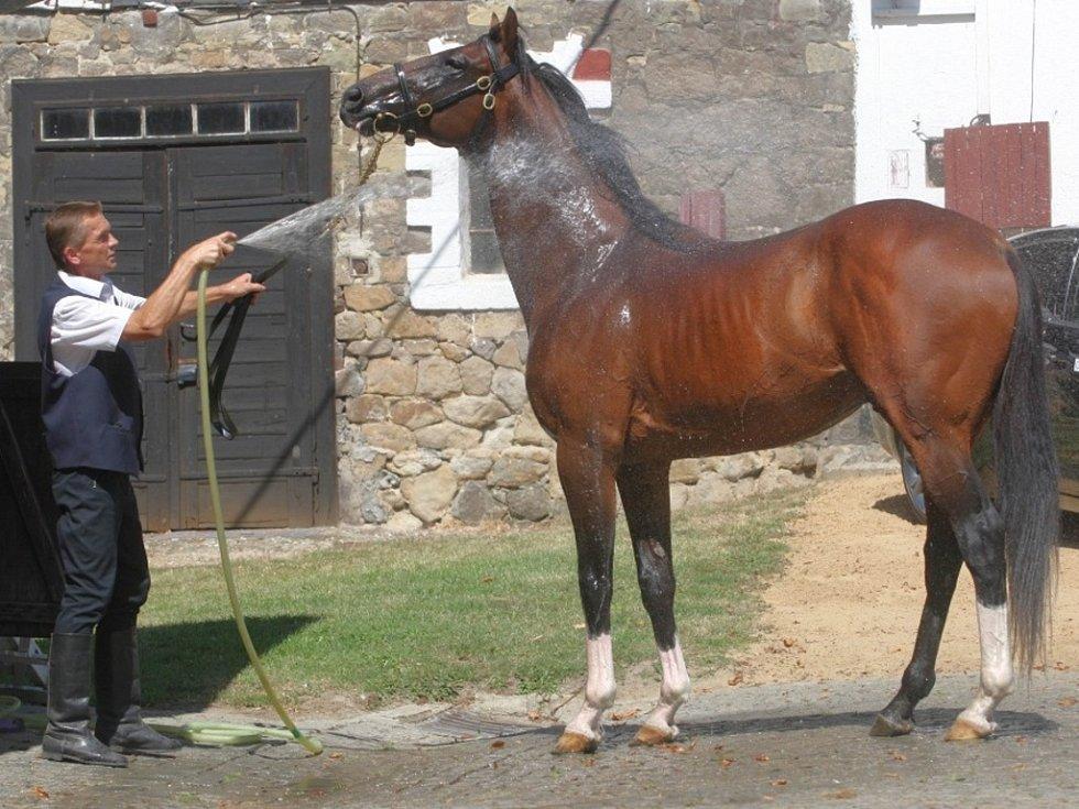 Sprchování koní v Hřebčíně v Napajedlích. Na snímku hřebec Egerton.