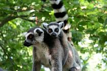 V Zoo Lešná přišla začátkem dubna na svět mláďata lemura katy. Dvě samičky porodily dokonce dvojčata.
