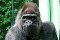 Samec Gorily nížinné Bosso na archivních snímcích z roku 2012. Bosso zemřel 2.4.2012 ve věku 41 let.