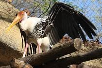 Stěhování ptáků (Nesyt indomalajský) ZOO Lešná