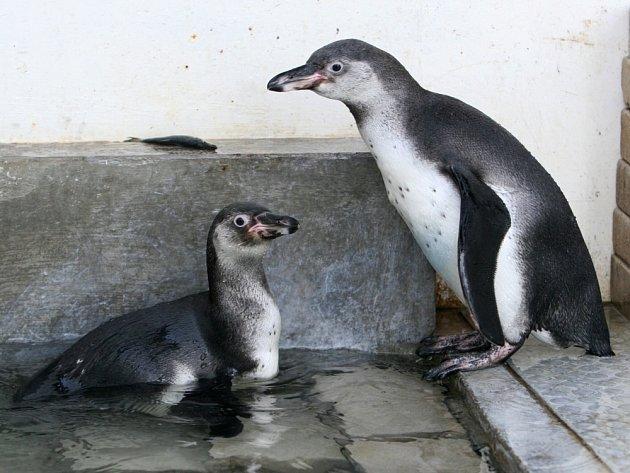 Sourozenci v bazénku. Tříměsíční mláďata tučňáků Humboldtových žijí prozatím ve vnitřní ubikaci. Do měsíce se ale spolu s dospělými jedinci začnou vydávat i do venkovního výběhu a představí se návštěvníkům.