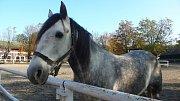 V Hřebčíně Napajedla pracuje 19 zaměstnanců, kteří se starají o 180 koní.