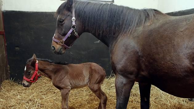 První narozené hříbě v hřebčíně Napajedla. Na snímku matka  klisna Whitney Risk a Martina Benková.