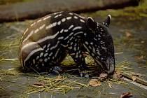 Na začátku listopadu se ve zlínské zoo narodilo již třetí mládě tapíra čabrakového. Tentokrát je to samička a díky starostlivé péči matky Nadiry skvěle prospívá.