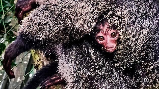 Chvostan bělolící. První měsíc strávilo mládě v mateřské náruči.