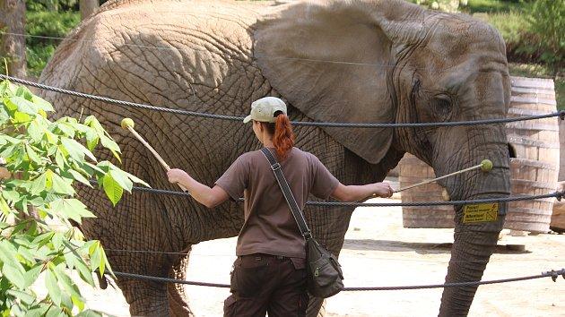 Již za dva měsíce má přijít na svět v Zoo Zlín mládě slona afrického