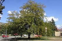 Moruše v Prštném, památný strom