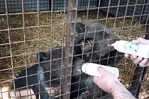 Dvě tříměsíční medvíďata ze Žatecka putovala na Slovensko, i za asistence zlínské krajské policie.