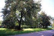 Výskyt hmyzu Euconnus napochus v Malenovicích ve Zlíně.