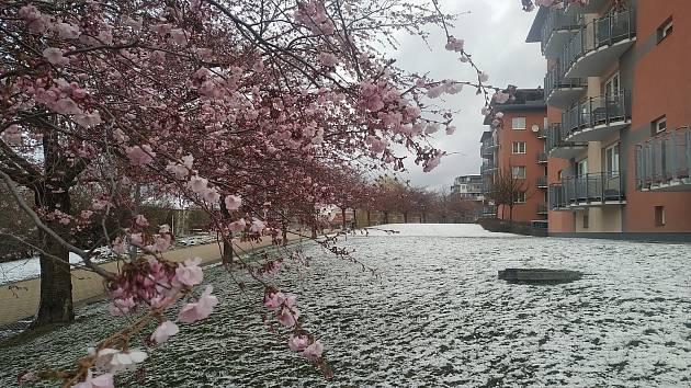 Sníh ve Zlíně 6. dubna zasypal kvetoucí cibuloviny, keře i sakury