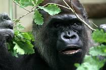 Samec gorily nížinné Boss v ZOO Lešná ve Zlíně