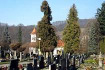 Tyto staré túje na březnickém hřbitově vystřídají mladé habry.