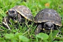 Želvy pralesní patří k obyvatelům haly Yucatan