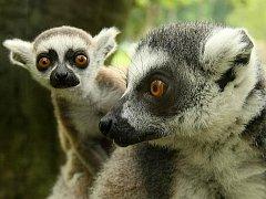 V zoo Lešná se narodila mláďata lemurů kata.