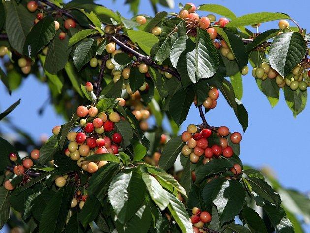 Rychlé oteplení na jaře způsobilo, že i třešně dozrávají mnohem dříve, než je běžné.