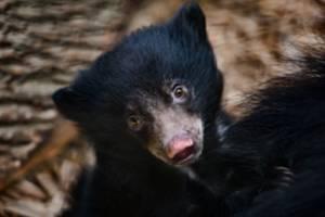 Mládě medvěda pyskatého odchované ve zlínské zoo.