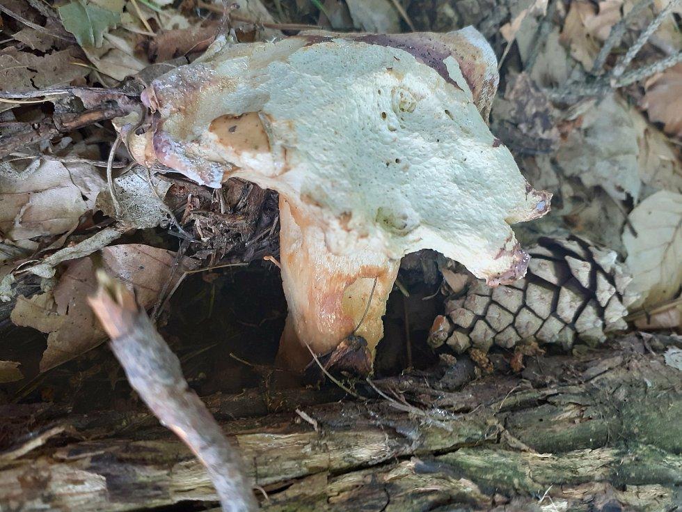 Vlčková. V sezóně nabízí houbařské úlovky, nejčastěji zde rostou bedle.
