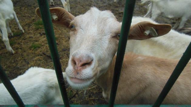 Kozí farma Julinových v Lukově.