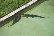 Dvě aligátoří samice jsou už v zoo ve venkovním bazénu před zámkem.