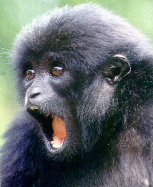 Siemangové ze zlínské zoo.