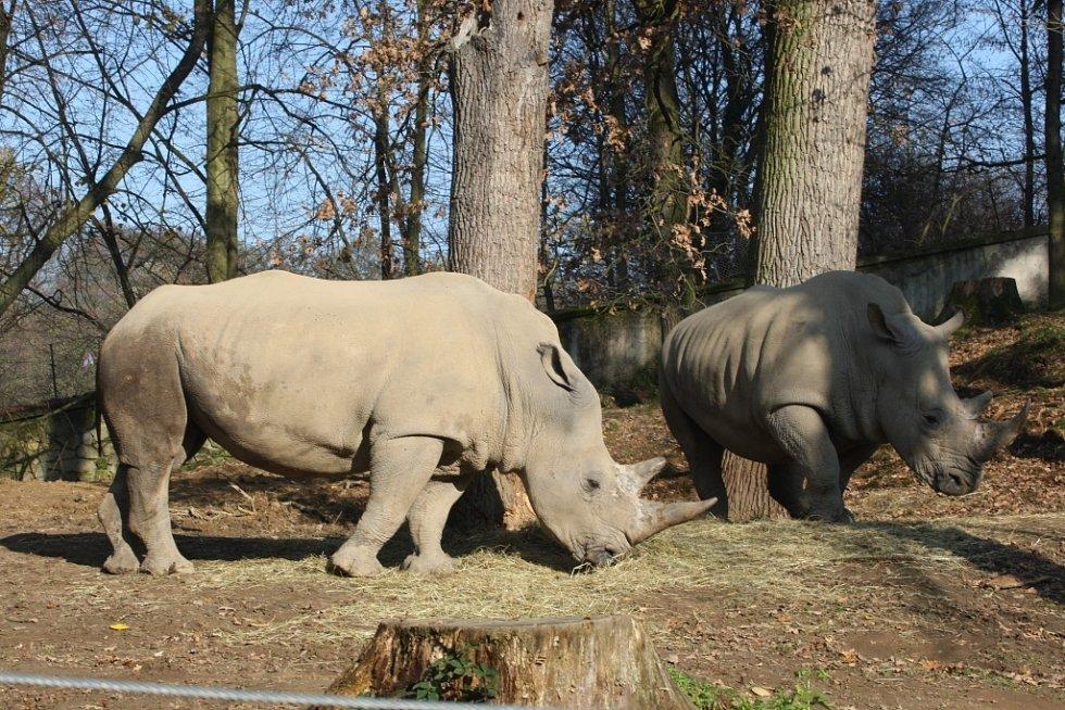 Nosorožec tuponosý se sluní v podzimním slunci v ZOO Lešná.