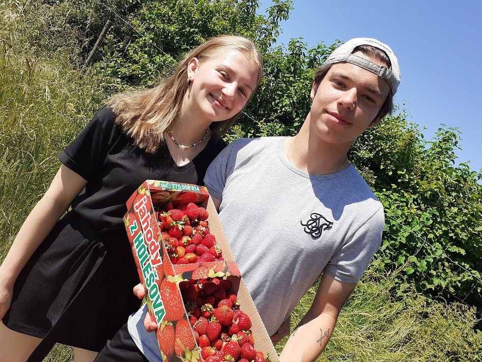 Samosběr jahod na Jahodové farmě v Holešově.