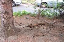Kácení narušeného stromu