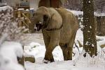 Slonice africká ve zlínské ZOO.