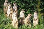Surikaty v Zoo Zlín