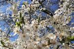 Čtenáři fotografují jaro. Břestek - Chabaně