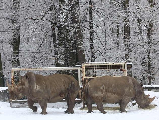 Nosorožci tuponosí ( Ceratotherium simun simun) se připravují na transport a páření v ZOO Lešná.