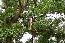 Stromolezec. Odborné ošetření památných stromů vyžaduje fyzickou zdatnost.