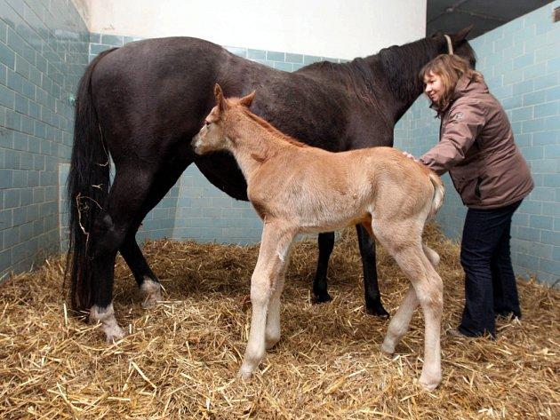 První narozené hříbě v Zemském hřebčinci v Napajedlích v roce 2013. Hřebeček ryzák z klisny Pelagie for Life (Rainbows for Life), který je zároveň prvním potomkem na světě po mimořádně úspěšném dostihovém koni Ryanovi (Generous).