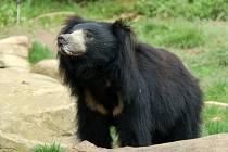 Medvěd pyskatý z Indie v zoo Lešná.